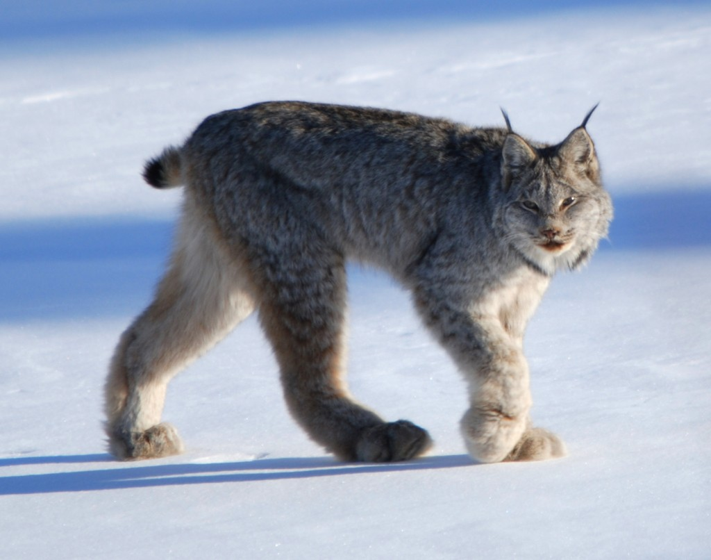 Canadian_lynx_by_Keith_Williams