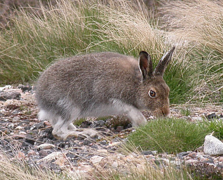Mountain_Hare_Scotland