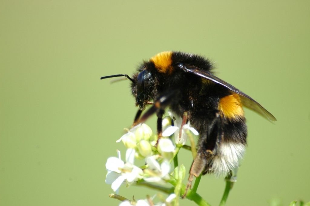2010-04-28_(35)_Erdhummel,_Buff-tailes_bumblebee,_Bombus_terrestris