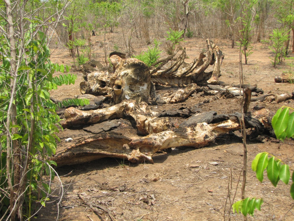old_elephant_carcass_mozambique