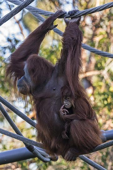 orangutans-Indah-Aisha