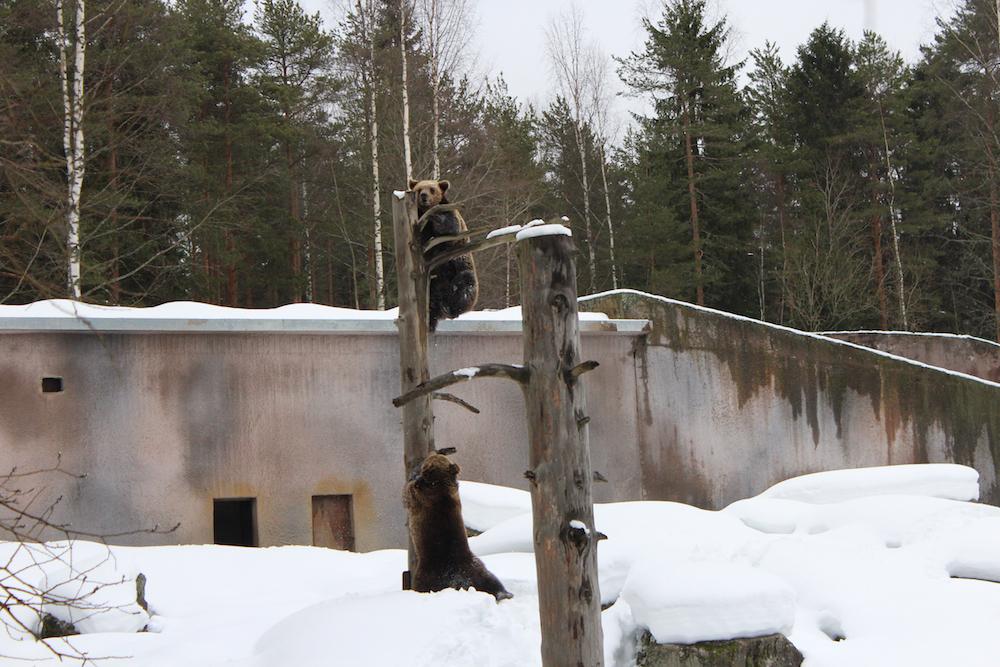 ähtärin karhut heränneet