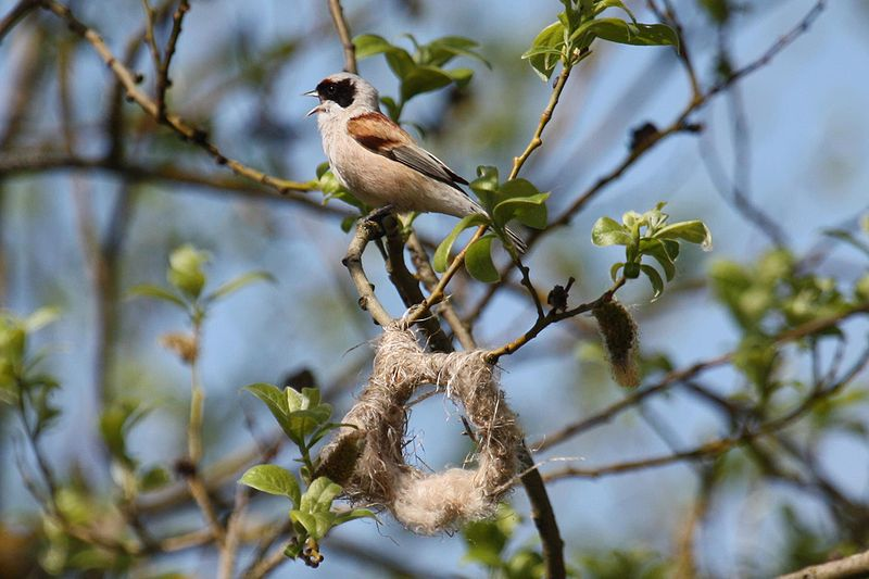 800px-Remiz_pendulinus_-Estonia_-singing_by_partly_built_nest-8
