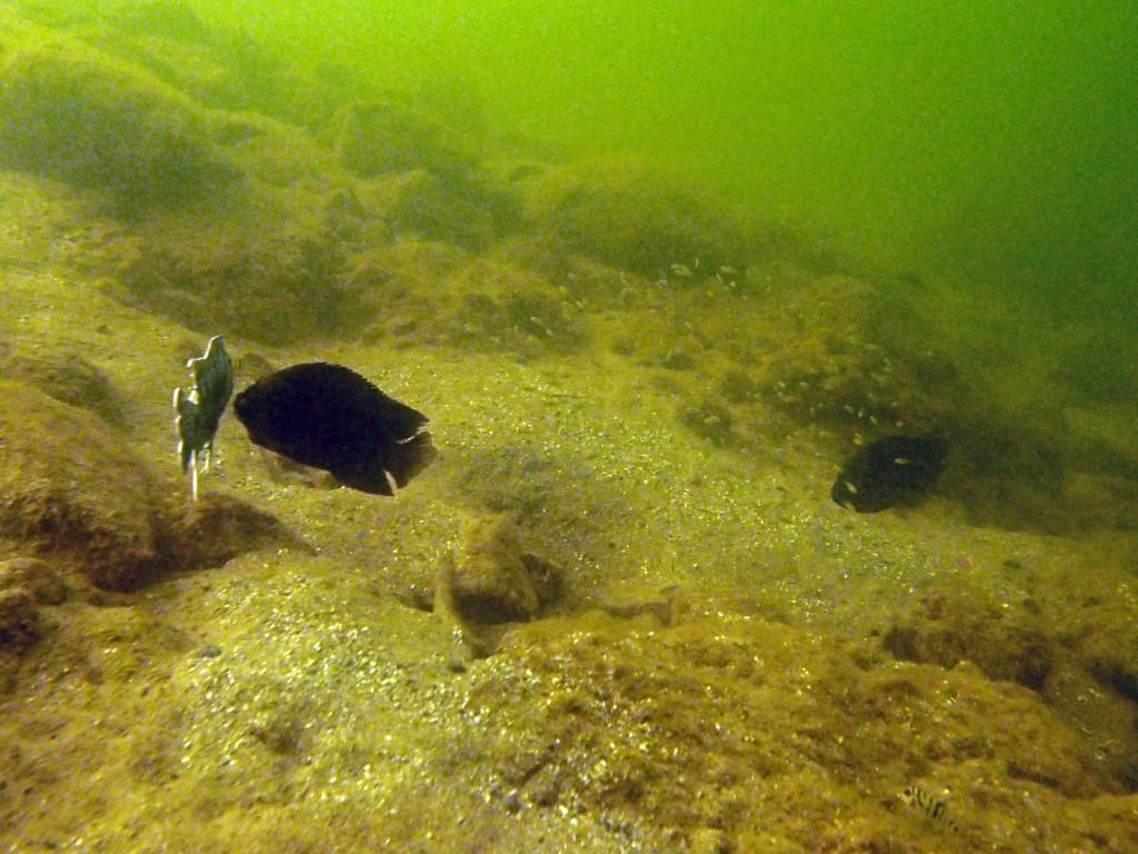 Kirjoahven hyökkäämässä kalamallin kimppuun