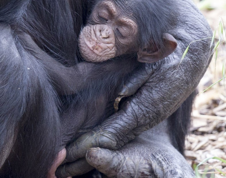 ChimpanzeeInfantOctober2015-786x620