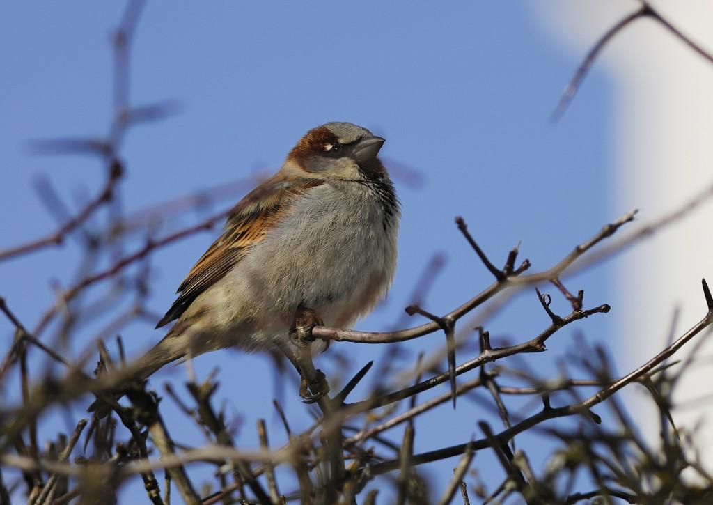 Koiras varpunen (Passer domesticus) Kuvaaja: Reijo Lähteenmäki  The male House Sparrow (Passer domesticus).