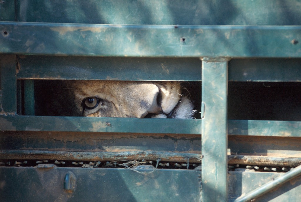 lion-in-crate-