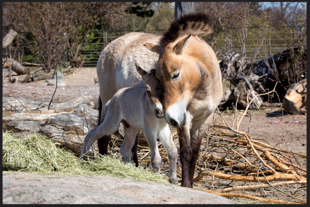 2016-05-06 11_39_58-A day old Przewalski's Wild Horse foal _ Flickr - Photo Sharing!