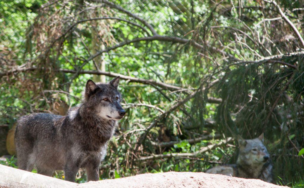 wolf-1411584100fgj