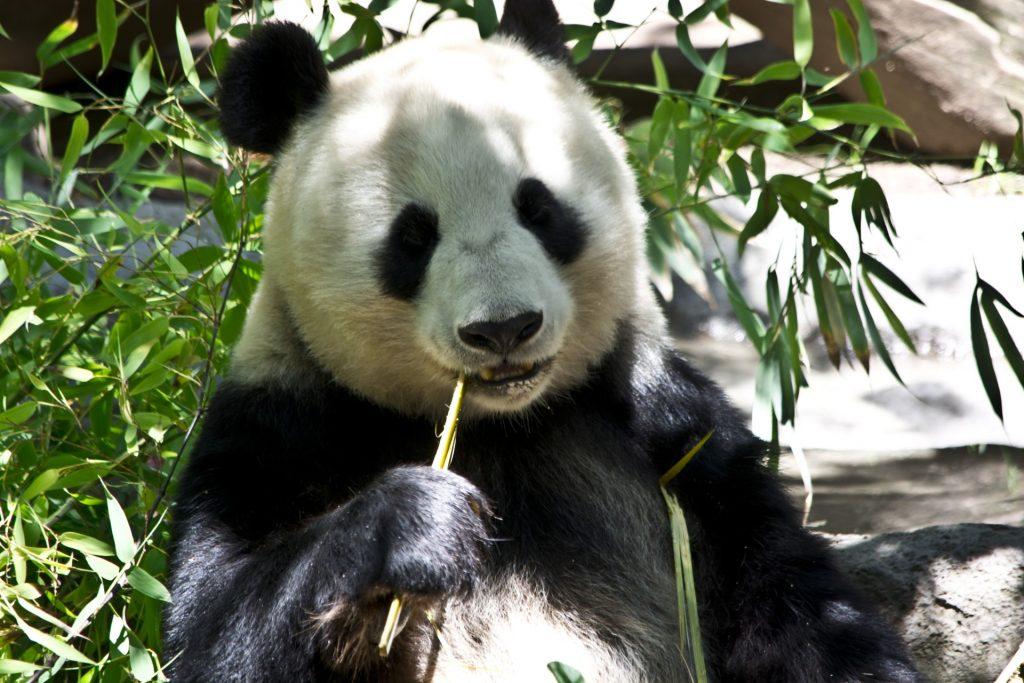 panda-bear-1372644508TmI