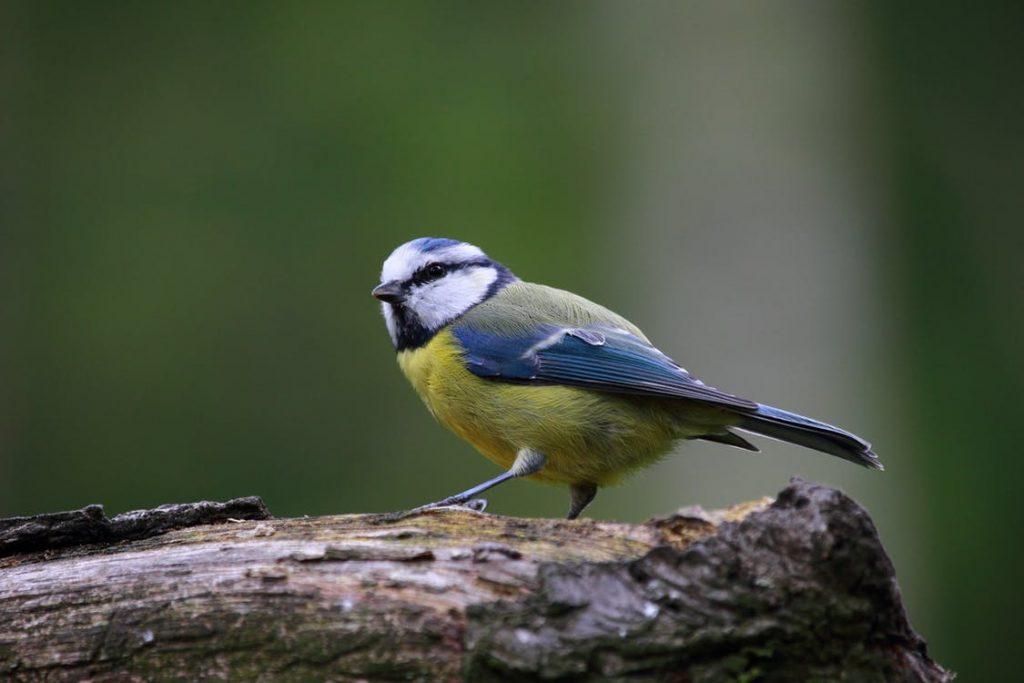 blue-tit-bird-cute-nature