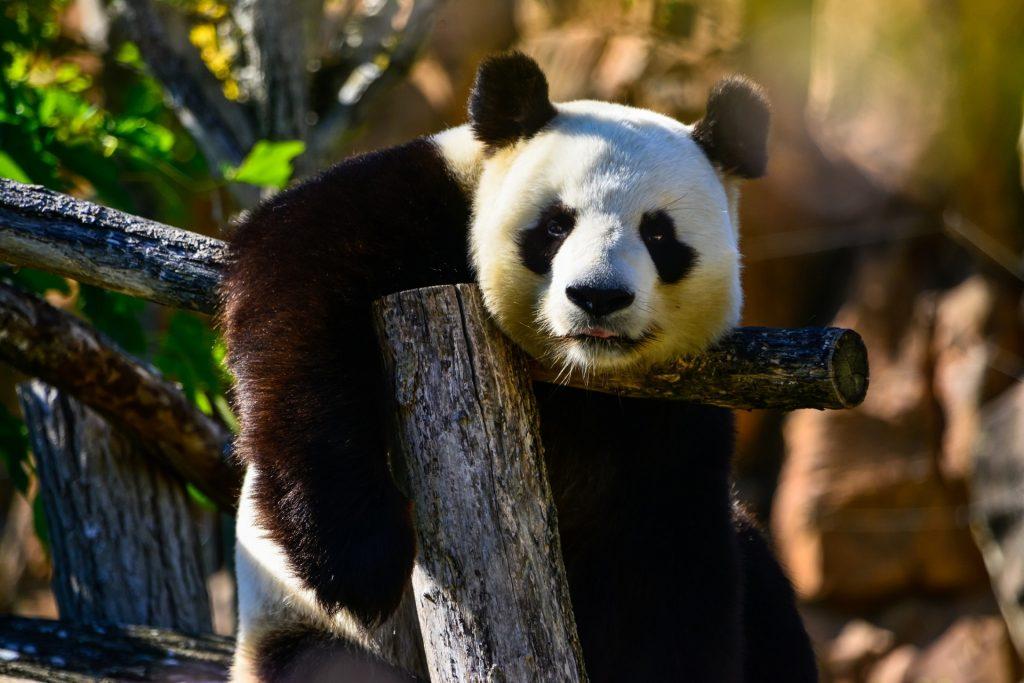 panda-bear-1493822564eUe