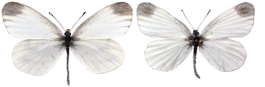 virnaperhoset