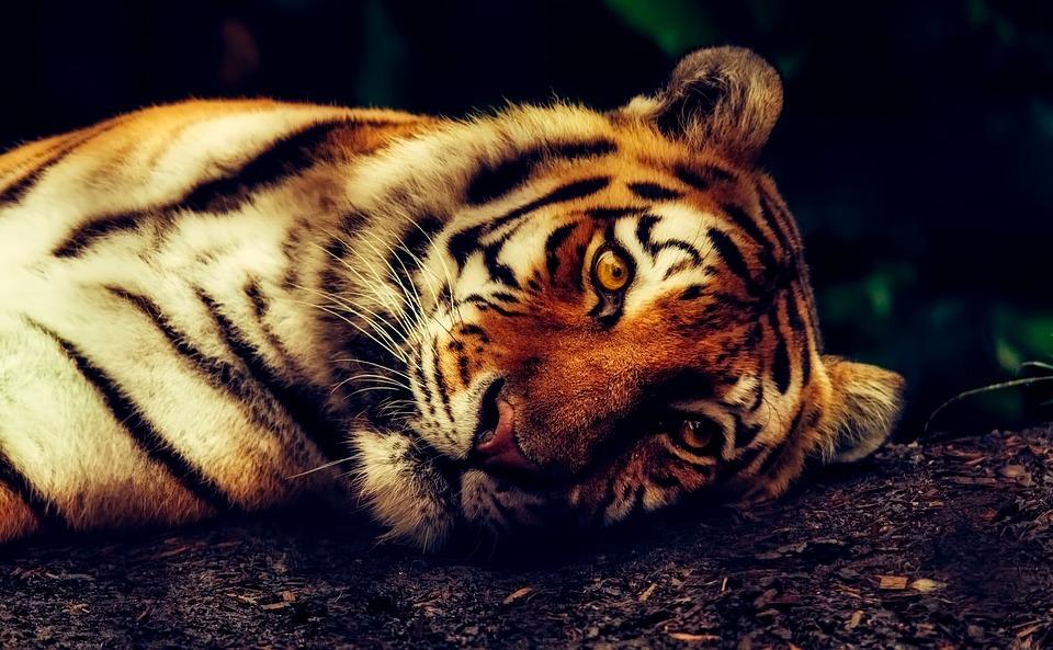tiger-2530158_960_720