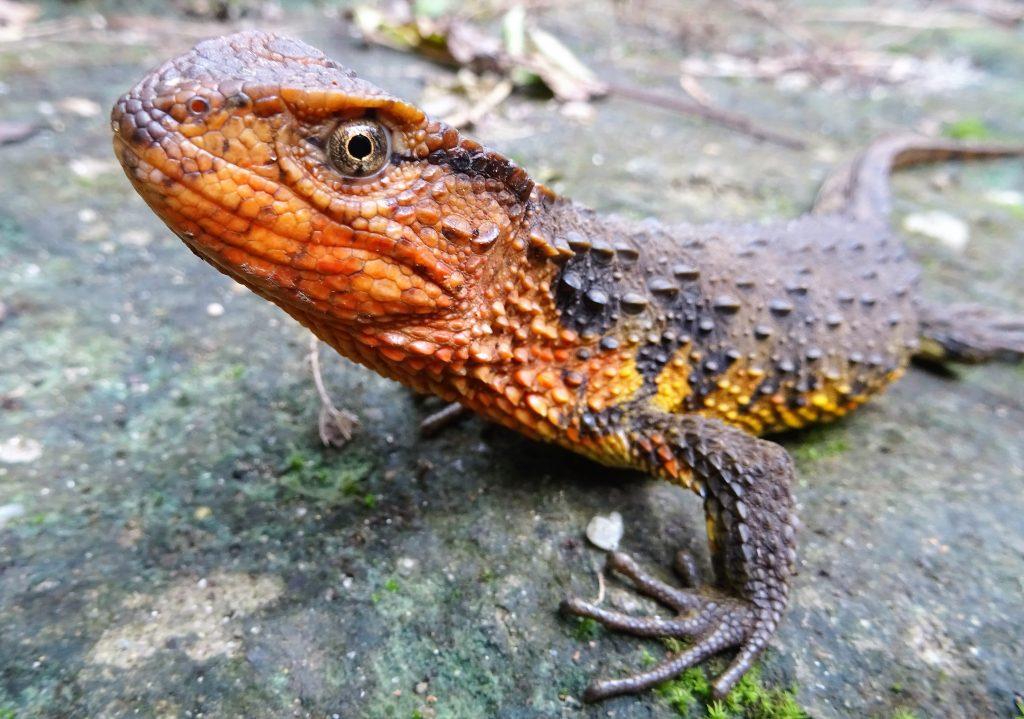 shinisaurus_crocodilurus_vietnamensis_phot__t__ziegler__1_