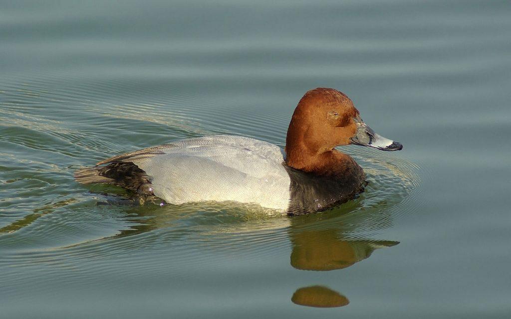 1200px-Duck_WUXGA