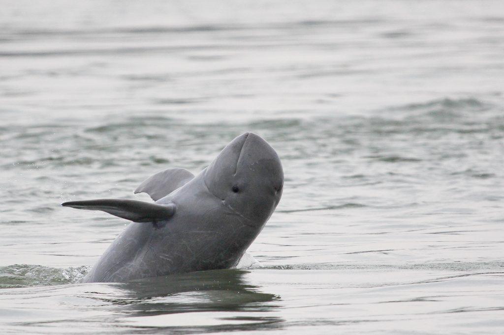mekongin-jokidelfiini.-c-cambodia-wwfgerry-ryanwwf-greater-mekong