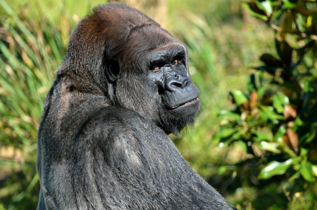 silverback-gorilla-1402593801MmY
