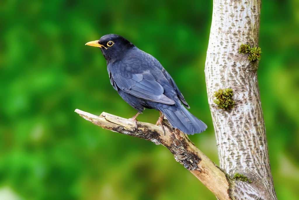blackbird-1523166212wjS