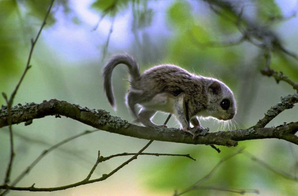 Young flying squirrel, Nurmo Finland, June.