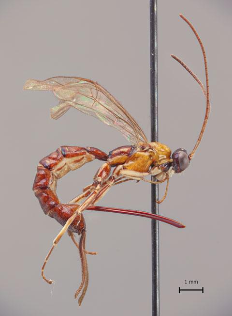 Clistopyga-crassicaudata-480