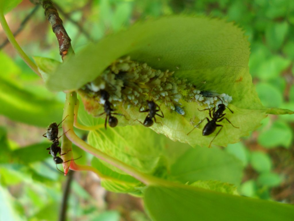 ants-on-leaf