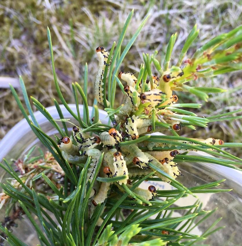 Diprion pini larvae 3