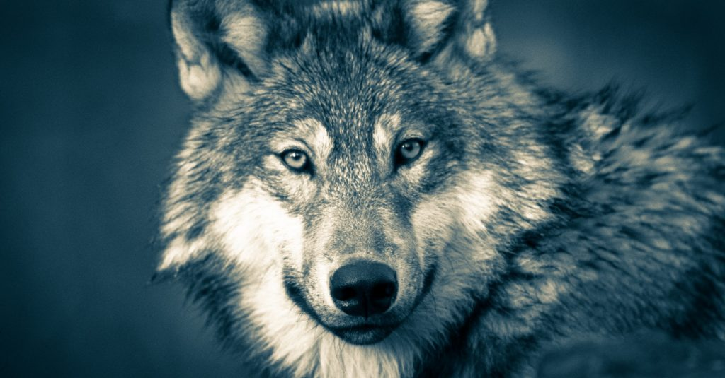 wolf-jungle-wolvesnight-preda