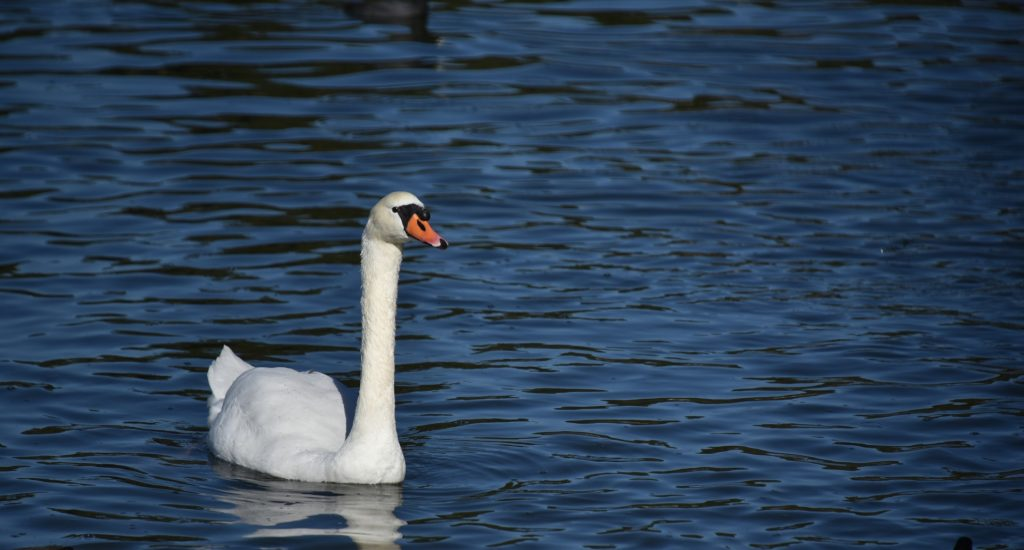 swan-swimming-on-a-blue-lake