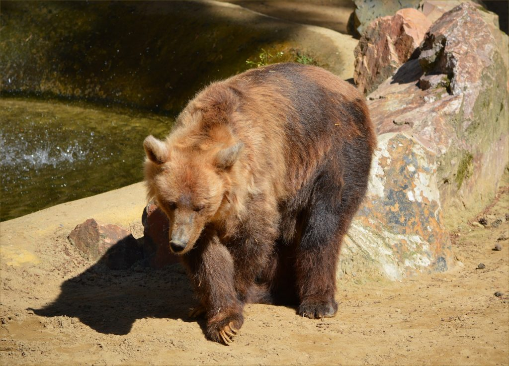 brown-bear-1381677298paM