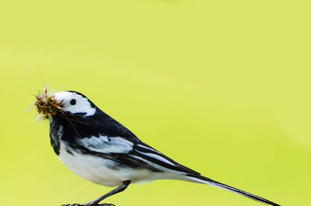 wagtail-with-mosquito-in-beak