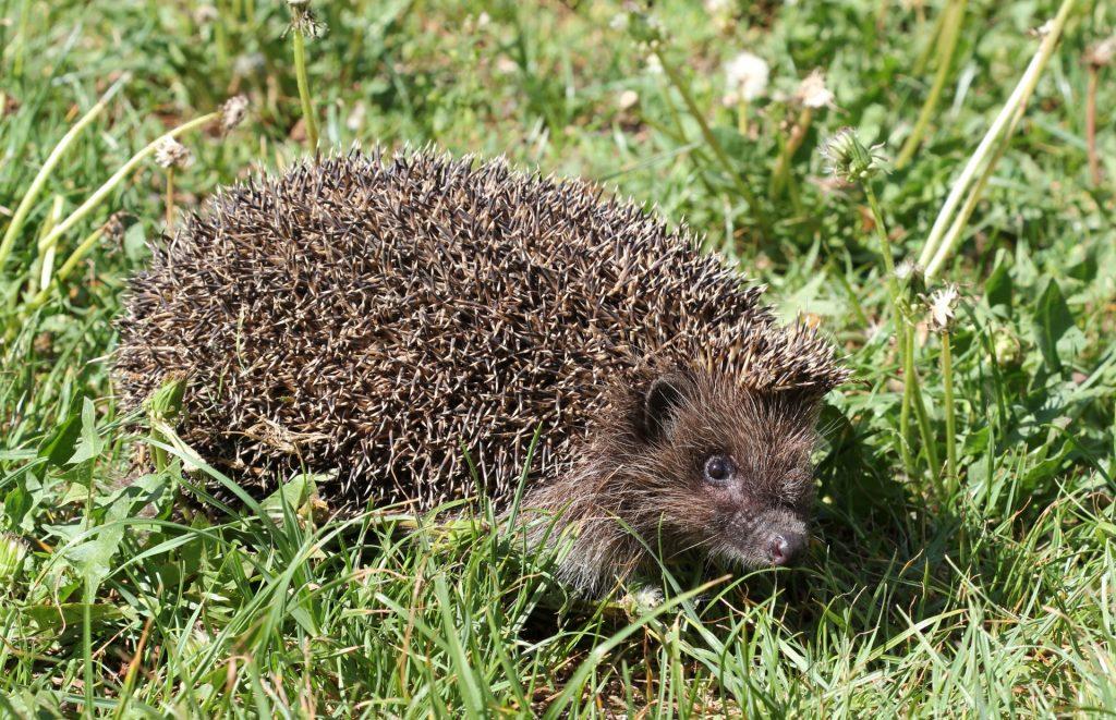 hedgehog-1546615027ZT6