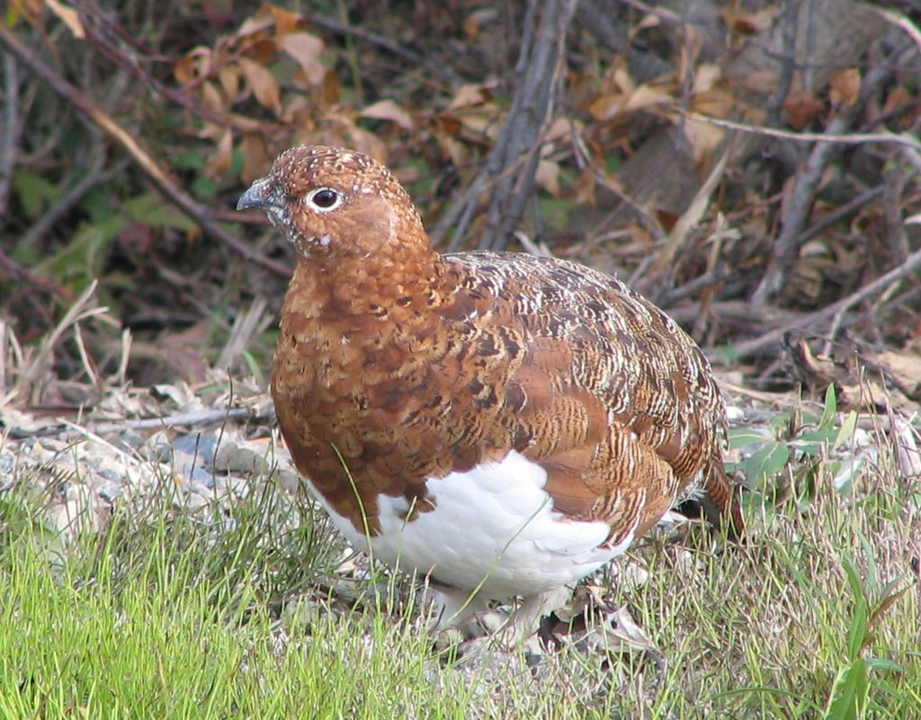 1024px-Denali_National_Park_Ptarmigan