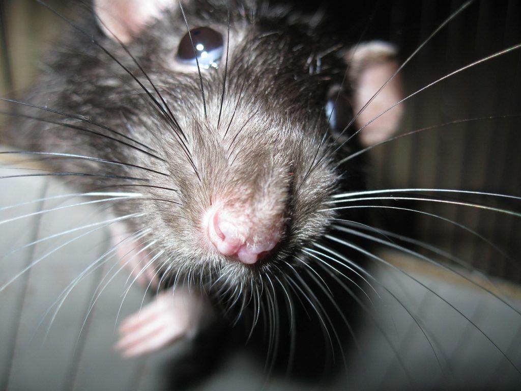 rat-1670528_1280