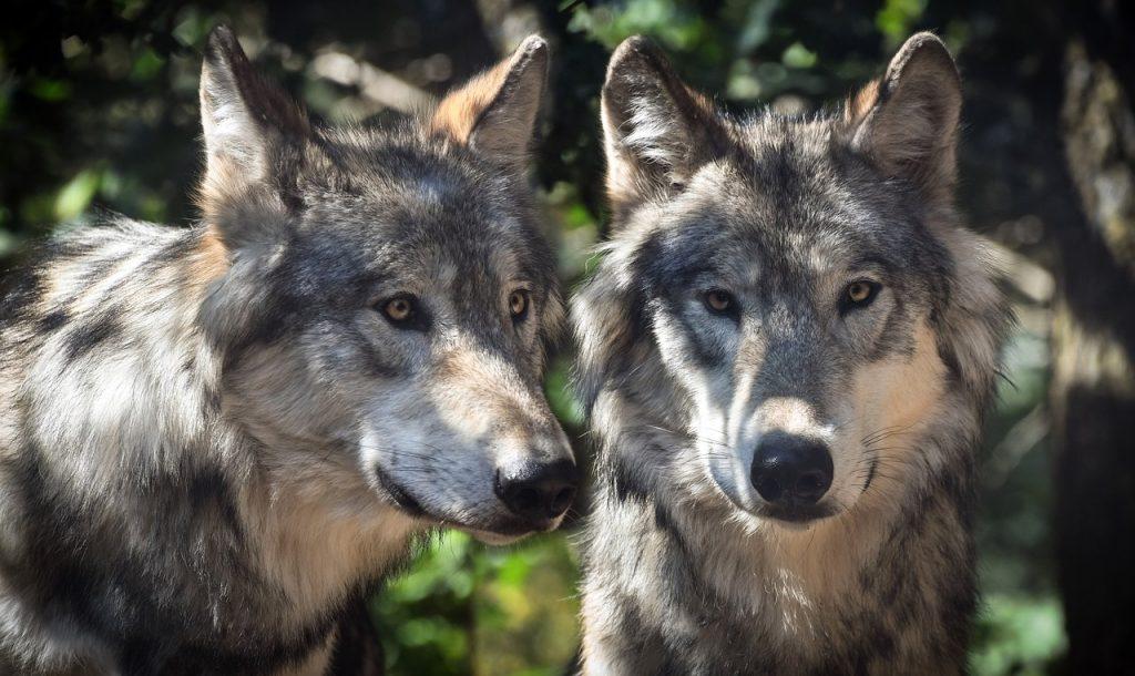 wolf-2984865_1280