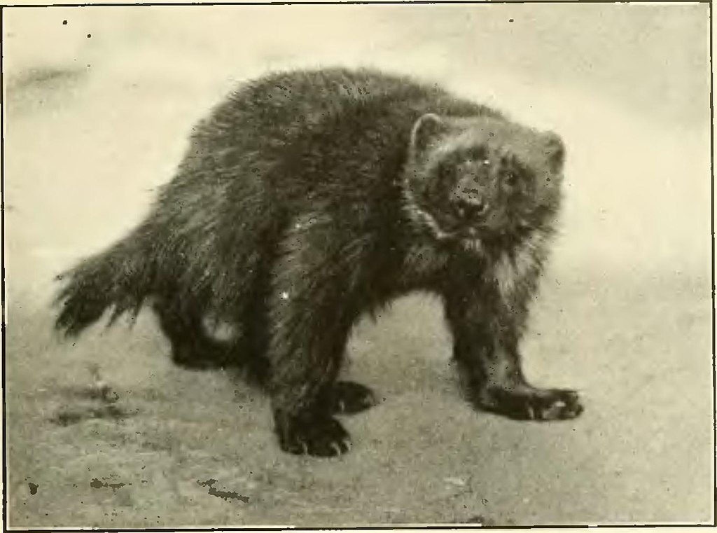 1024px-A_History_of_Land_Mammals_in_the_Western_Hemisphere_-_wolverine