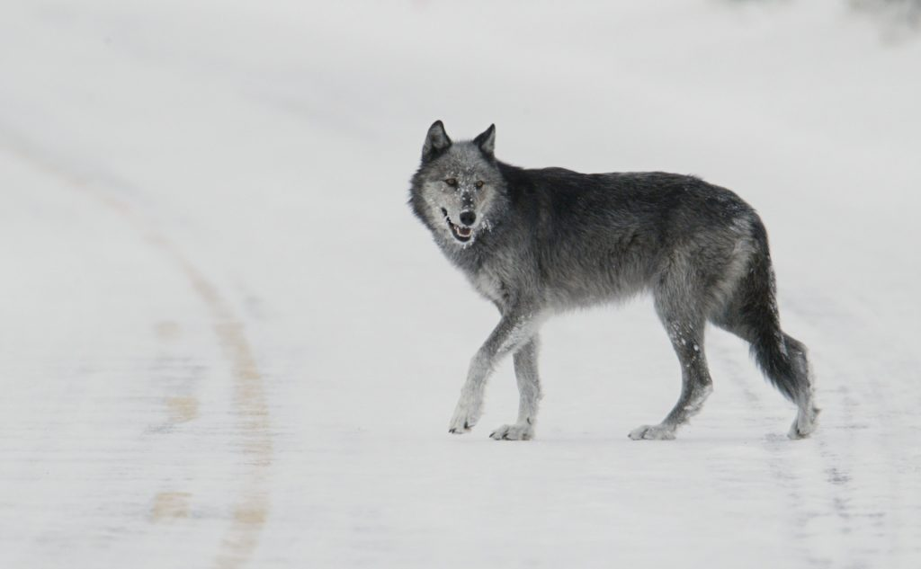 wolf-walking-in-winter