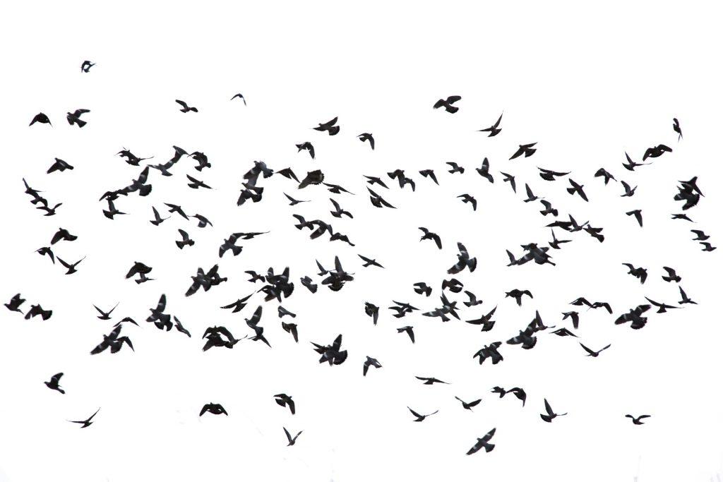 flock-of-birds-1518276771e5P