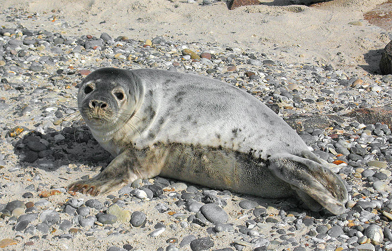 800px-Grey_seal_Halichoerus_grypus_young