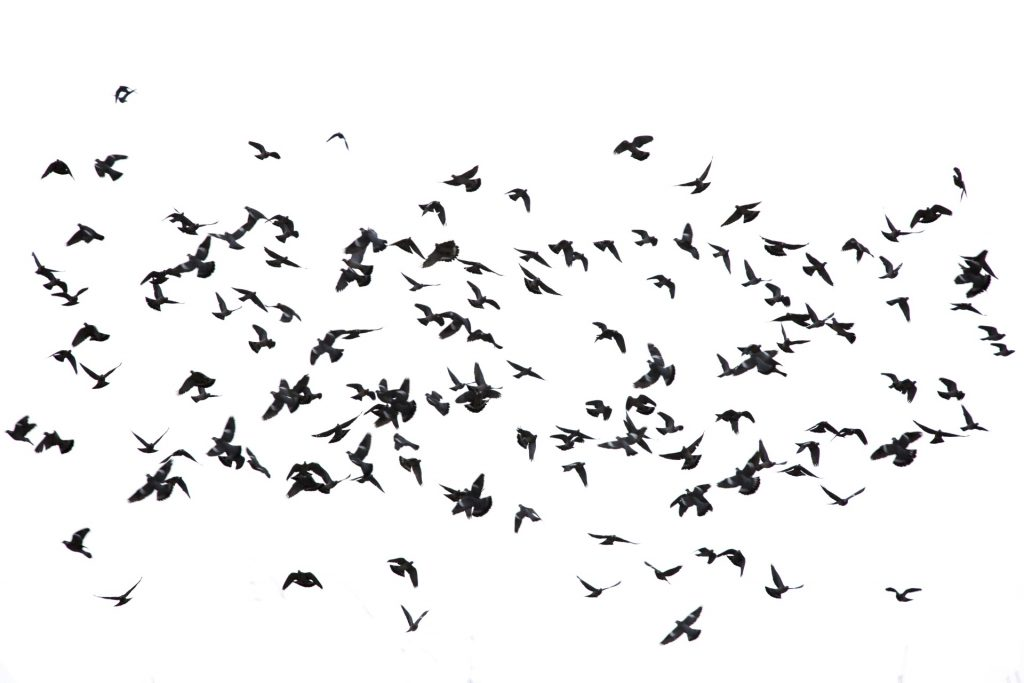 flock-of-birds-1518276771e5P