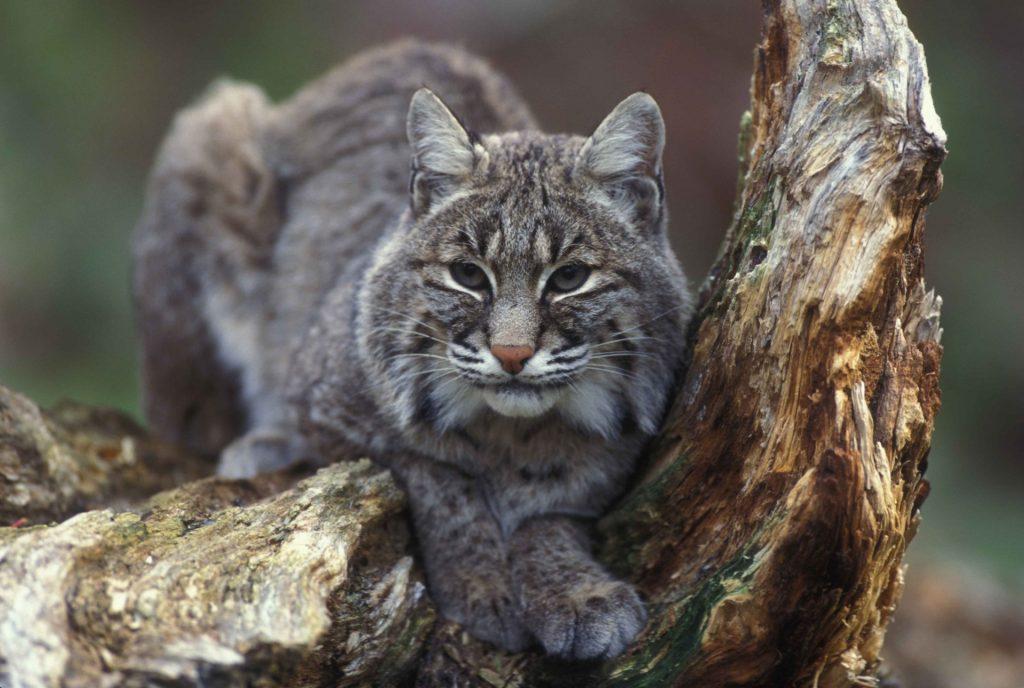 bobcat-1516716737EBL