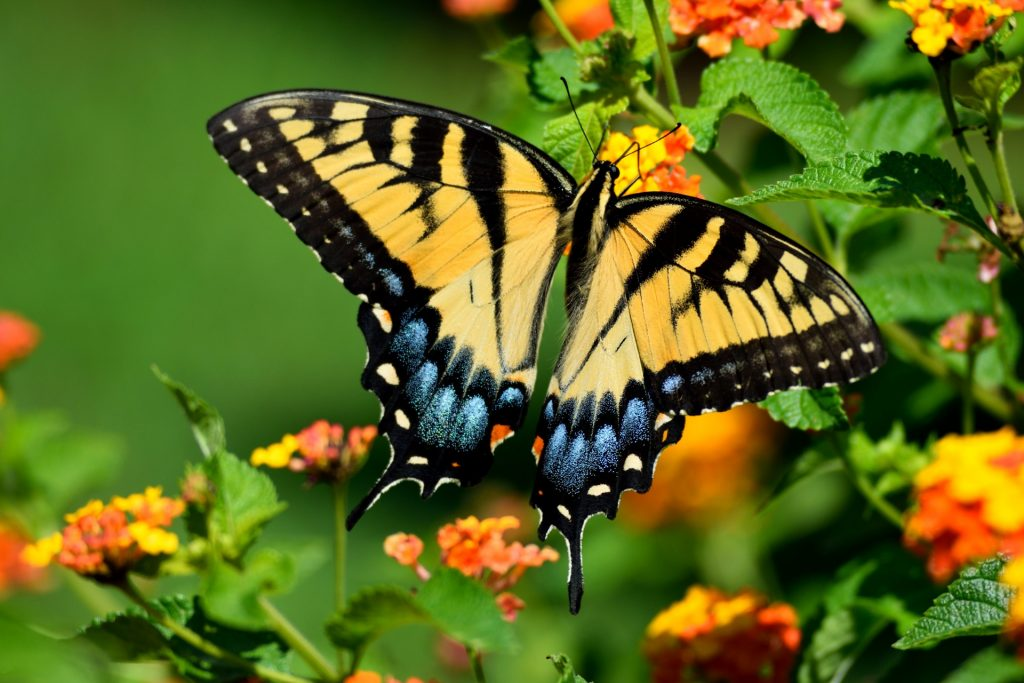 tiger-swallowtail-butterfly-1533828335NoH