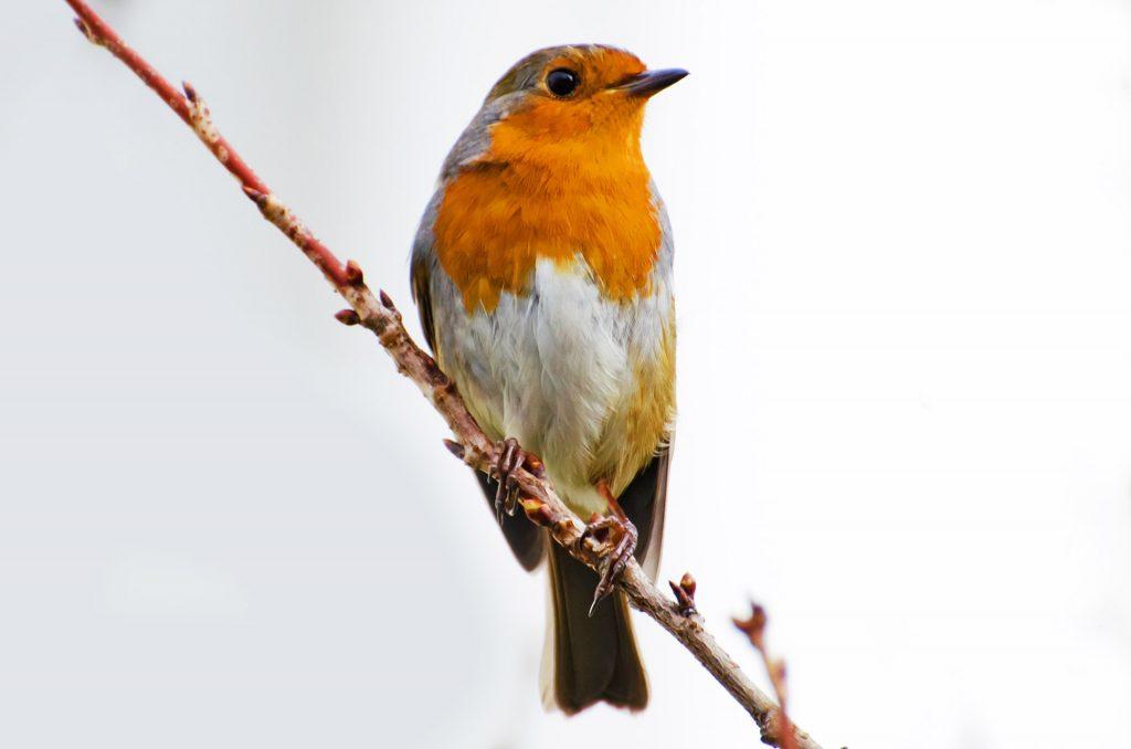 bird-robin-erithacus-rubecula