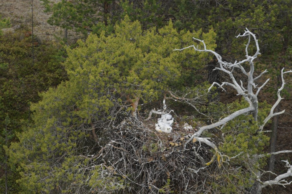 maakotkan-poikasia-pesassa-kuva-metsahallitus